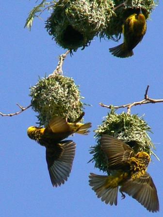 masked weavers