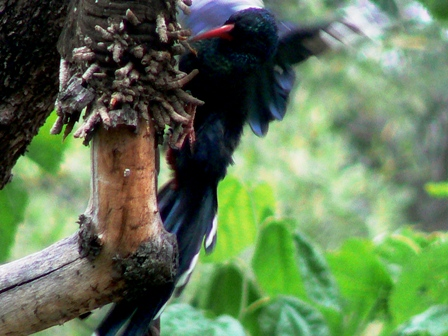 wood hoopoe
